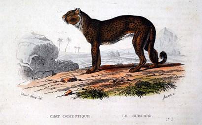 Leopard I by Georges-Louis Leclerc, Comte de Buffon art print