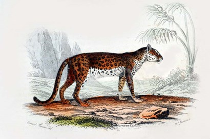 Leopard II by Georges-Louis Leclerc, Comte de Buffon art print