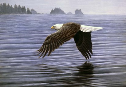 Low Flight Bald Eagle by Dr. Jeremy Paul art print