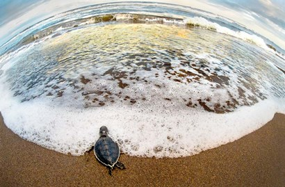 Green Sea Turtle, Tortuguero, Costa Rica by Panoramic Images art print
