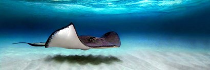 Southern Stingray, Grand Cayman, Cayman Islands by Panoramic Images art print