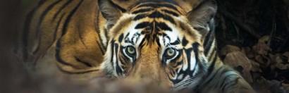 Bengal Tiger, India by Panoramic Images art print