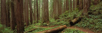 Jedediah Smith State Park, California by Panoramic Images art print