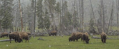 Bison Grazing in Snow by Galloimages Online art print