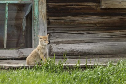 Coyote By Log Cabin Door by Galloimages Online art print