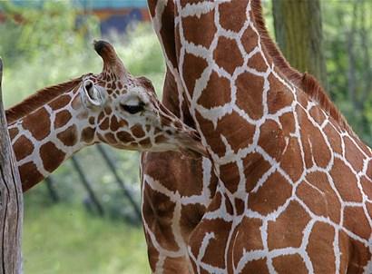 Giraffe And Calf by Galloimages Online art print