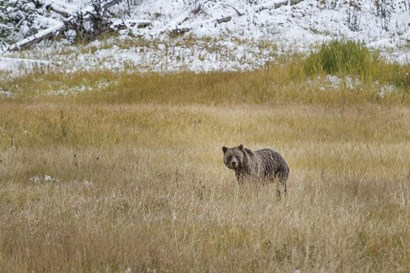 Young Grizzly In Yellowstone by Galloimages Online art print