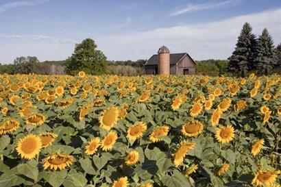 Sunflowers & Barn, Owosso, MI 10 by Monte Nagler art print