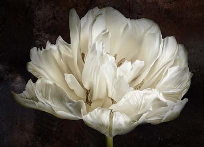 Double White Tulip by Cora Niele art print