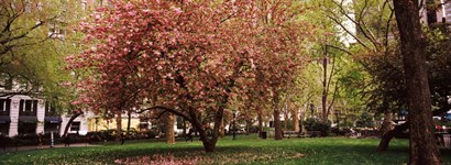 Cherry blossom in  Madison Square Park, New York by Panoramic Images art print