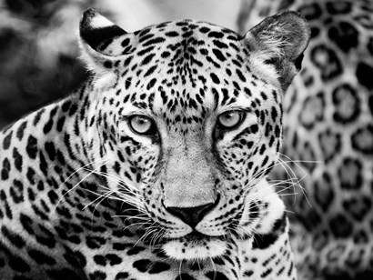 Young Leopard by Dimitri Ersler art print