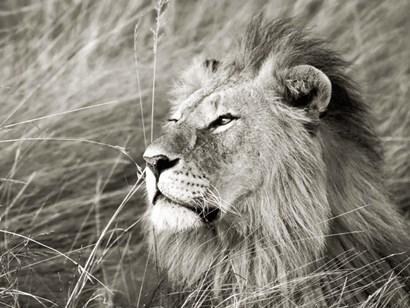 African Lion, Masai Mara, Kenya 1 by Frank Krahmer art print