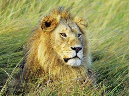 African Lion, Masai Mara, Kenya by Frank Krahmer art print