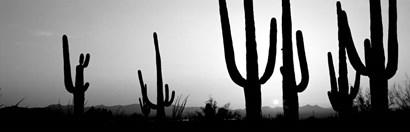 Silhouette of Saguaro cacti, Saguaro National Park, Tucson, Arizona by Panoramic Images art print
