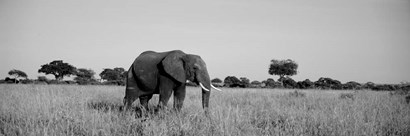 Elephant Tarangire Tanzania Africa by Panoramic Images art print