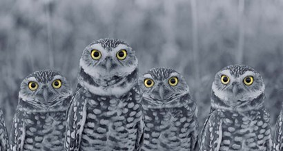 Pop of Color Burrowing Owl Family by Color Me Happy art print