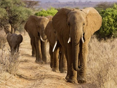Herd of African Elephants, Kenya art print