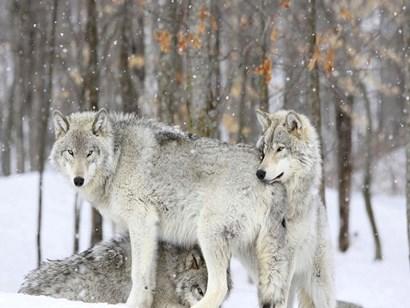 Grey wolves huddle together during a snowstorm, Quebec art print