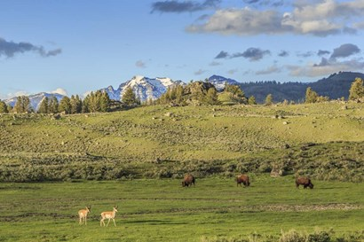 Lamar Valley - Pronghorn And Bison by Galloimages Online art print