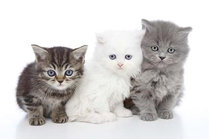 Kittens 6 by Andrea Mascitti art print