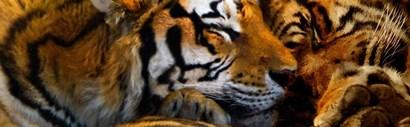 Tigers Sleep by Murray Henderson Fine Art art print