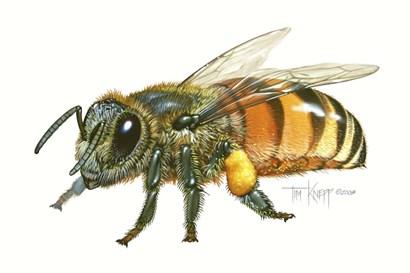 Honey Bee by Tim Knepp art print
