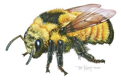 Bumble Bee by Tim Knepp art print