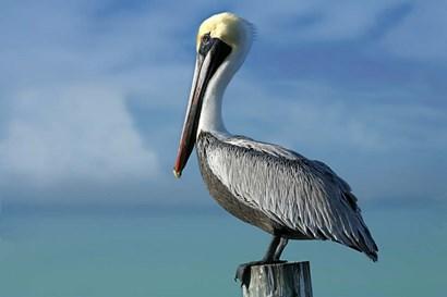 Pelican by Mike Jones Photo art print