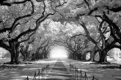 Oak Alley inf CHECK!!!!! by Mike Jones Photo art print