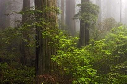 Redwoods Fog by Mike Jones Photo art print