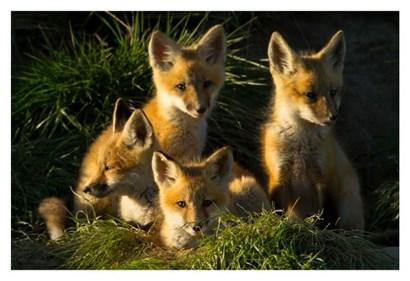 Red Fox Kits by Jason Savage art print