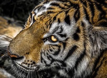 Tiger Eyes by Duncan art print
