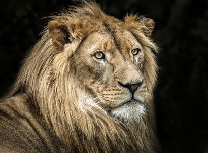 The Lion V by Duncan art print