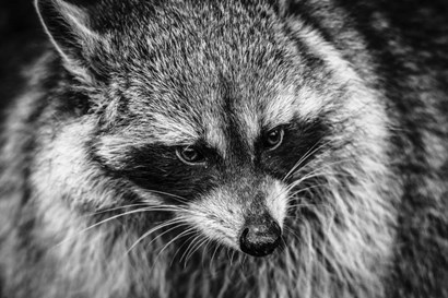 The Raccoon - Black & White by Duncan art print