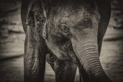 Young Elephant sepia by Duncan art print