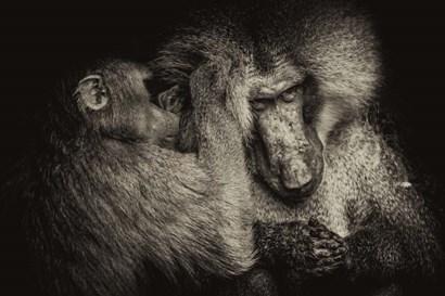 Baboon II Sepia by Duncan art print