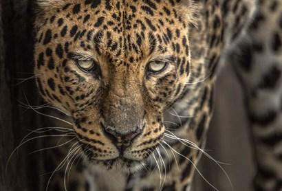 The Jaguar by Duncan art print