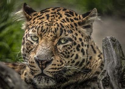 The Jaguar Close Up by Duncan art print