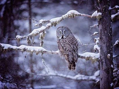 Owl in the Snow II by PHBurchett art print