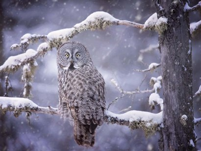 Owl in the Snow III by PHBurchett art print