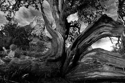 Sedona Juniper Tree by Tom Brossart art print