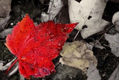 Red Leaf by CW Hetzer art print