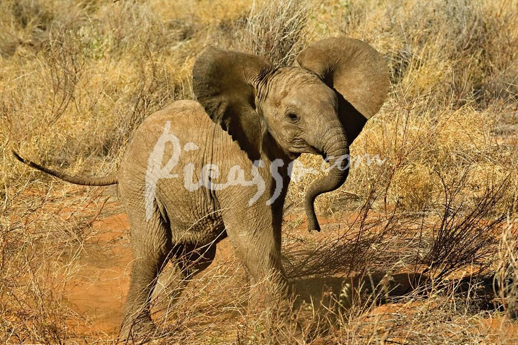Elephant cognition  Wikipedia