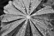 Raindrops on Lupine
