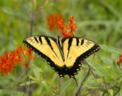 Black Yellow Butterfly I