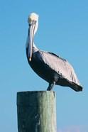 Pelican Perched II