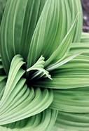 Green Leaf Blooms II