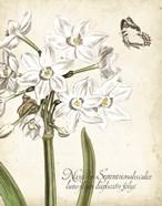Narcissus Botanique I
