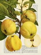 Fruits de Saison, Pommes