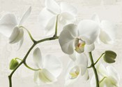 Ivory Orchids